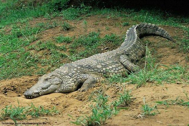 krokodil-201100286151